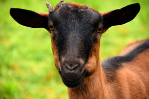 Natuurgeneeskunde voor de geit