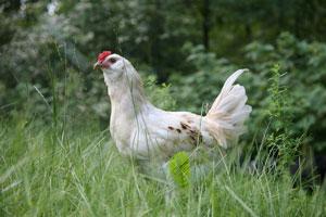 Gezondheid van de kip en haan
