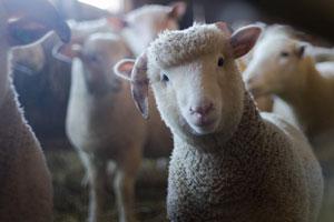 Natuurgeneeskunde voor een schaap